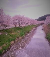 宇陀桜2.jpg